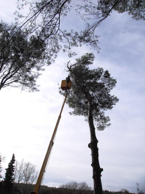 Abattage d'un pin avec nacelle